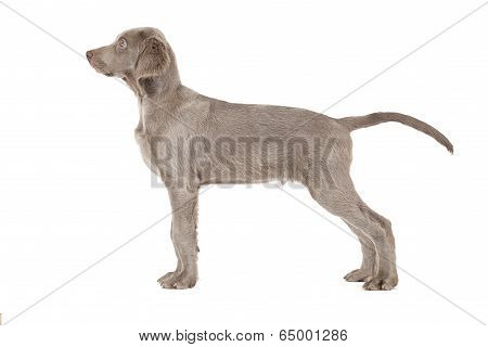 Weimaraner Puppy In His Typical Pose