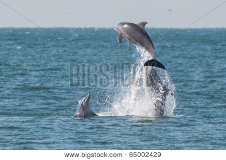Leaping Dolphin Family