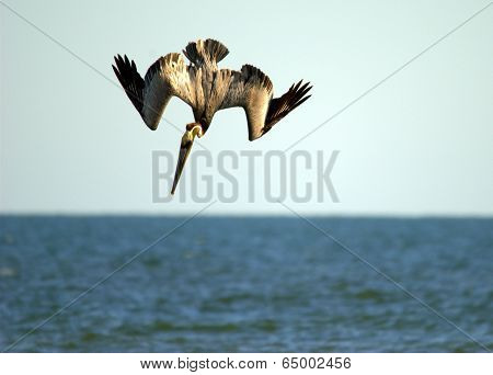 Brown Pelican Diving For Dinner