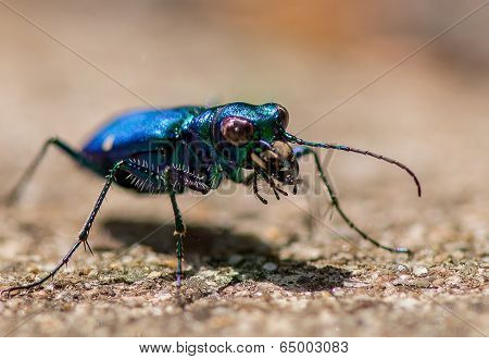 Iridescent Blue Tiger Beetle