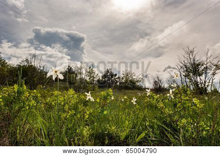 Meadow Of Wild Daffodils