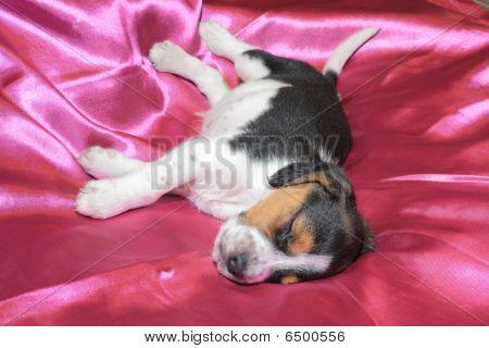 Tri-color beagle puppy sleeping