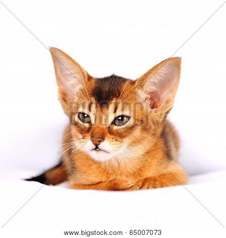 Abyssinian Kitten Ruddy Color Portrait