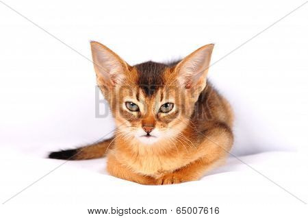 Angry Kitten Portrait