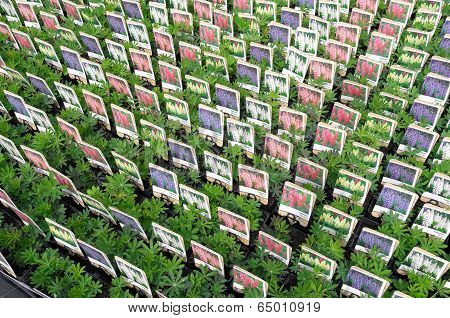 Netherlands - Voorschoten - Circa April 2014: Lupinus Plants At Wholesale.