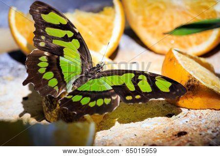Malachite Butterfly Feeding On Fruits