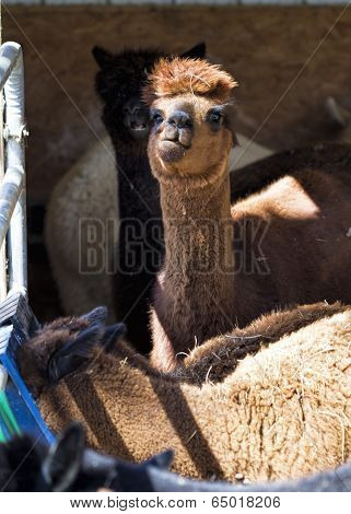 Curious Peruvian Alpaca - Vicugna pacos