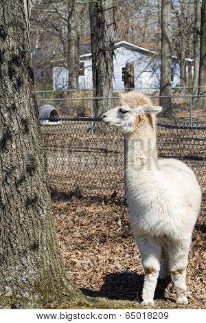 White Alpaca - Vicugna pacos