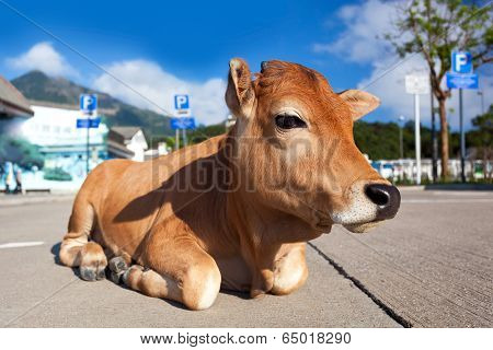 Calf On City's Street