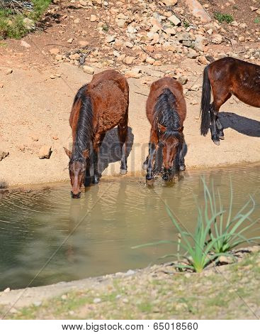 Brown Horses Drinking