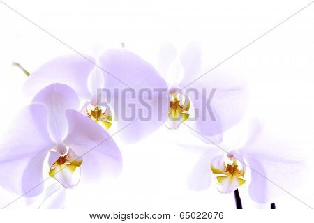 Delicate Orchid isolated on white background