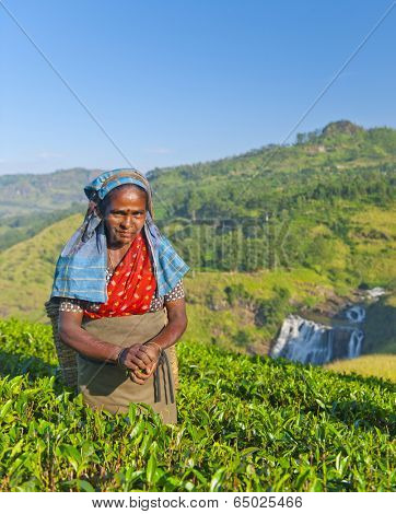 Tea picker smirks as she picks leaves.