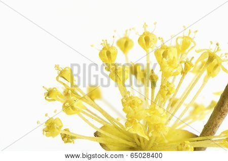 Close Up Of Yellow Cornelian Cherry Flower