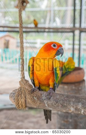 Beautiful Colorful Parrot, Sun Conure