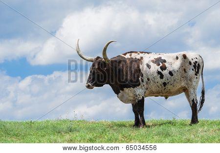 Texas Longhorn On Pasture
