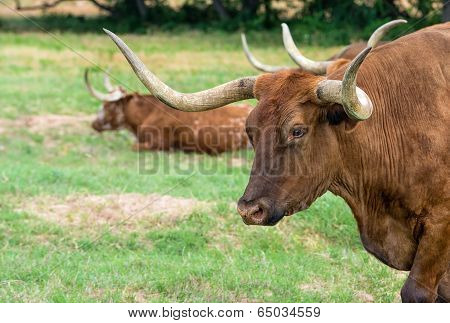 Texas Longhorn Cattle On Pasture