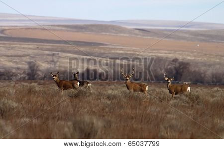 Mule deer in front of rolling hills