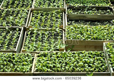 Sweet Pepper Seedlings Sown In The Wooden Boxes
