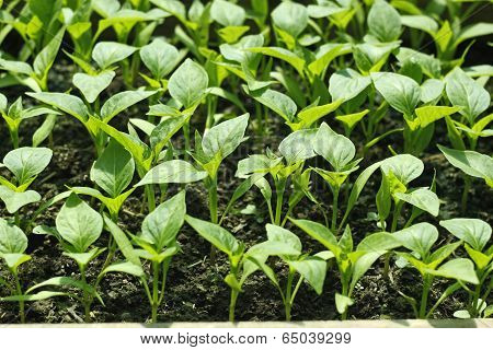 Bell Pepper Seedlings Before Planting In Soil