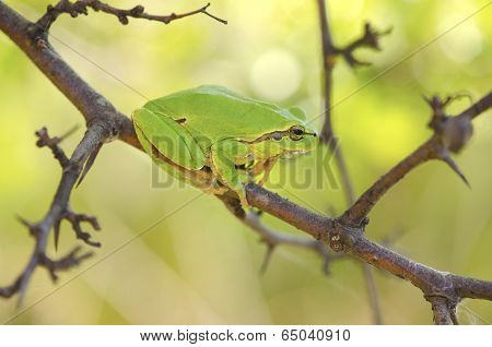 Hyla Arborea Among Tree Branches