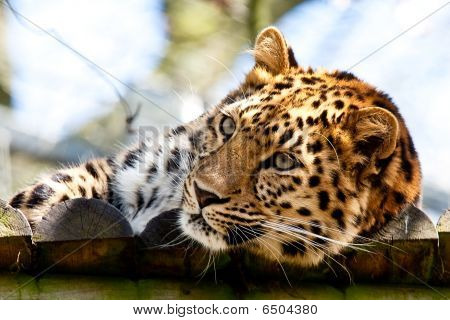 A Leopard Who Has Just Woken Up