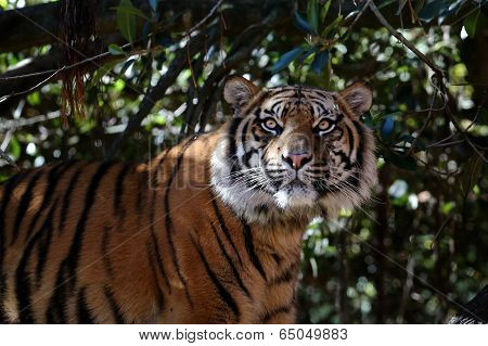 Sumatran Tiger stares at the camera