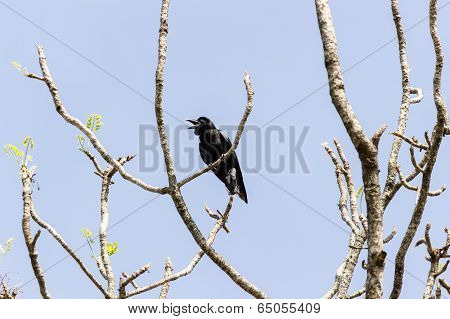 a crow with its beak wide open indicating that it is crowing