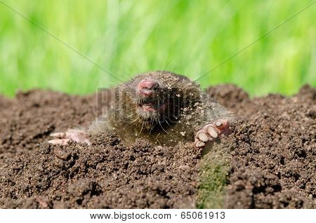 Mole Head In Soil.