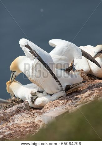 northern gannet couple