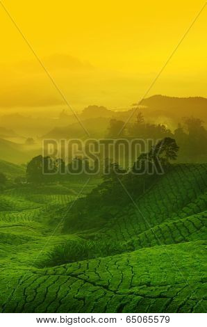 Landscape view of tea plantation with golden sunrise in morning. Beautiful tea field Cameron Highlands in Malaysia.