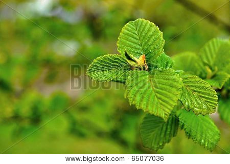Young Green Leaves On A Tree Branch