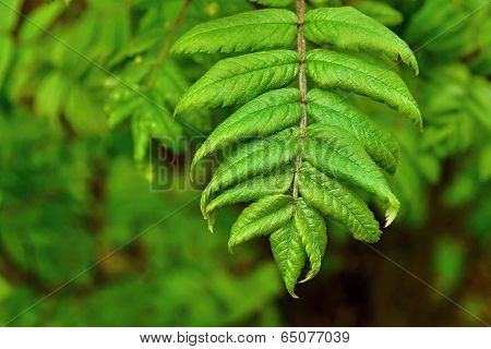 Green Branch Of A Mountain Ash