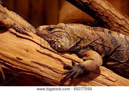 Iguana cuban