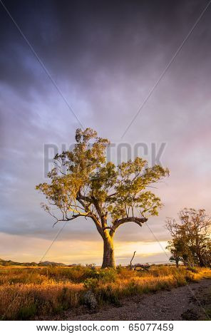 Beautiful tree in the Flinders Ranges, South Australia