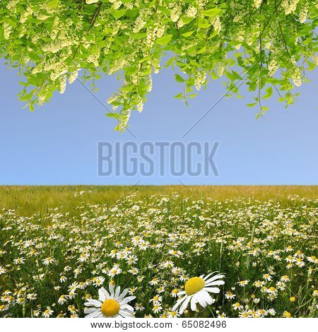 field of marguerites with blooming trees