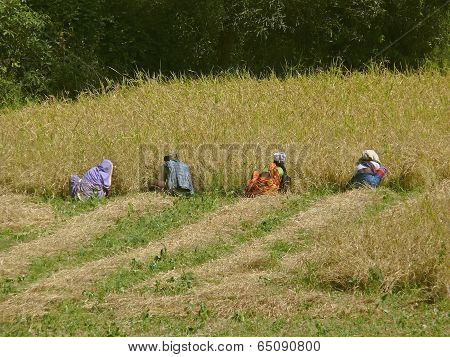 Farmers are working in the Field of Rice crop