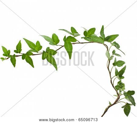 Corner border of Green ivy plant close up isolated on white background