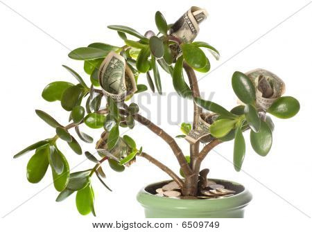 Jade Plant With Dollar Bills Isolated On White (blossoming Money Tree)