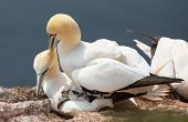 pic of gannet  - A northern gannet couple having sex on their nest - JPG