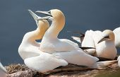 picture of gannet  - A northern gannet couple having sex on their nest - JPG