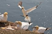 image of gannet  - A group of northern gannets on a rock