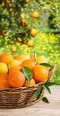 stock photo of clementine-orange  - Oranges and lemons in the basket on wooden table on background of orchard of orange trees