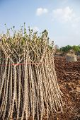 stock photo of cassava  - Early varieties of cassava cuttings for planting