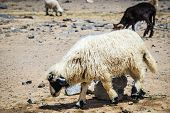 stock photo of oman  - Sheep on mountain Jebel Shams in Oman