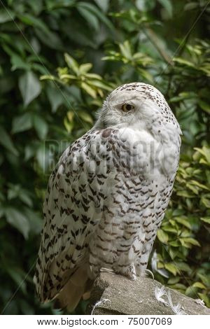 portrait  White snow owl siting on stone - open eyes