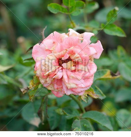 Old And Withered Rose On Tree