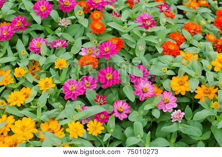 Blooming Zinnias In Garden