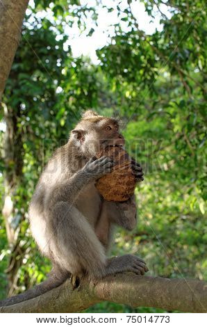 crab-eating macaque or long-tailed macaque or macaca fascicularis eating coconut