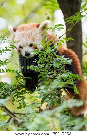 Ailurus fulgens Panda Rosso Red Panda sits between limbs of tree