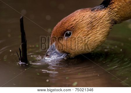brown duck's face drinking water